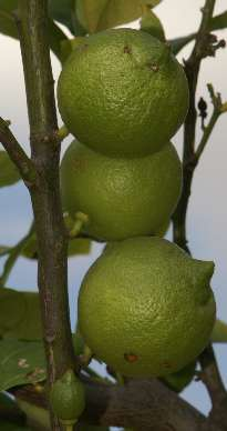 Citrus limon: Unreife Zitronen