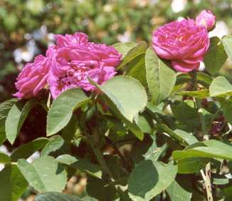 Rosa damascena: Damaszenerrose Rose de Resht