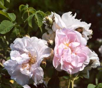 Rosa damascena: Damaszenerrose Celsiana