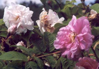 Rosa damascena versicolor: Damaszenerrose York and Lancaster