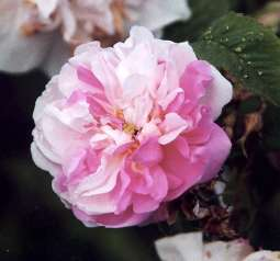 Rosa damascena: Damaszenerrose York and Lancaster