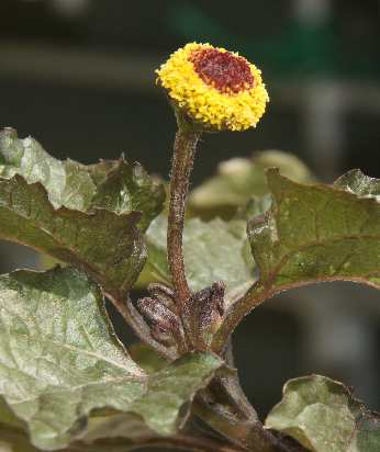 Spilanthes oleracea: Paracress inflorescence